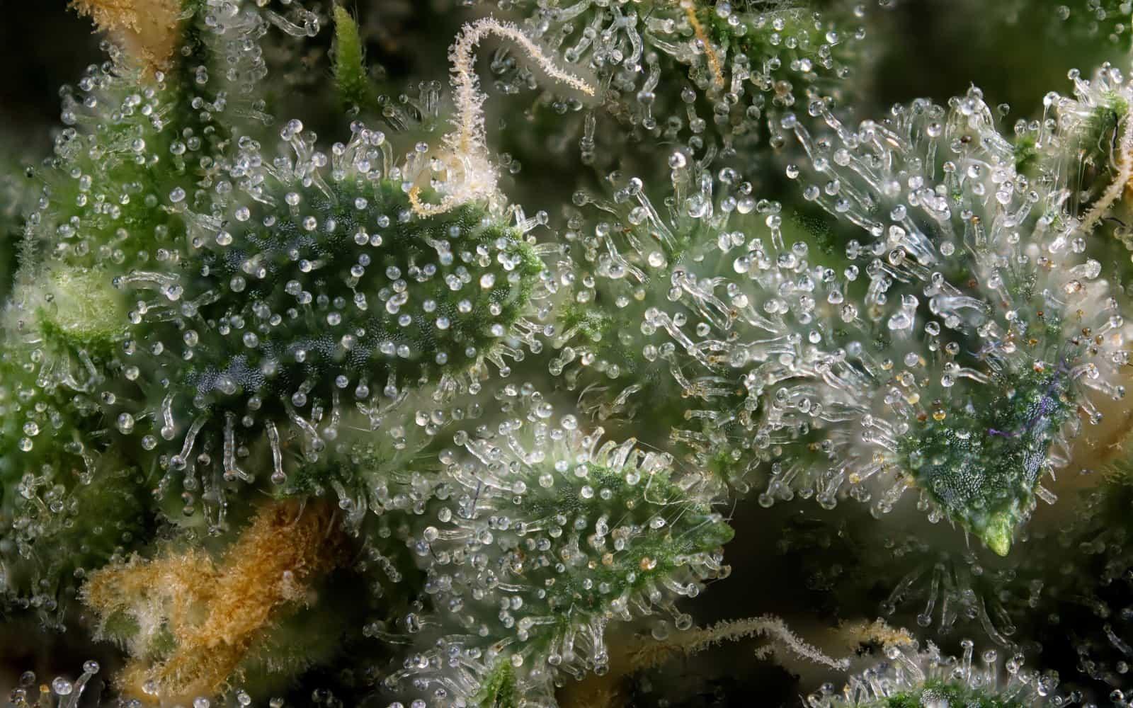 Terpeni e cannabis: cosa sono, a cosa servono, come usarli