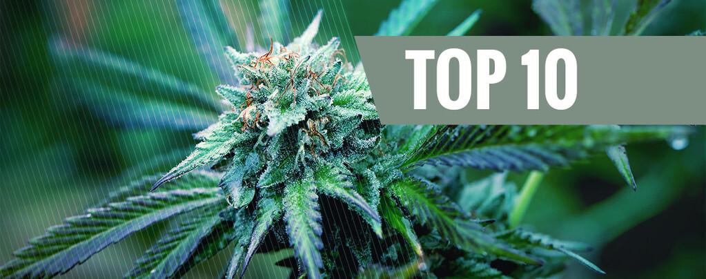 Top 10 delle varietà di cannabis indica con più alto contenuto di THC